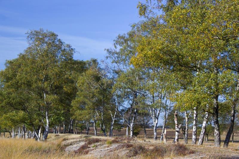 Brzozy aleja w parku narodowym Hoge Veluwe, holandie zdjęcia royalty free
