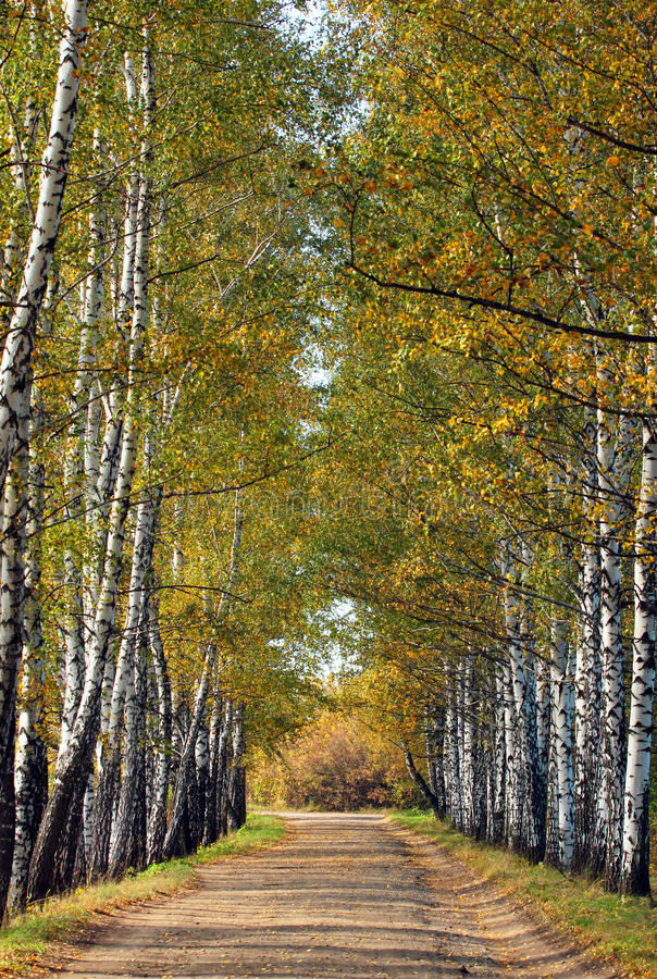 Brzozy aleja w wczesnym spadku Drzewo opuszcza kręcenie kolor żółtego obraz royalty free