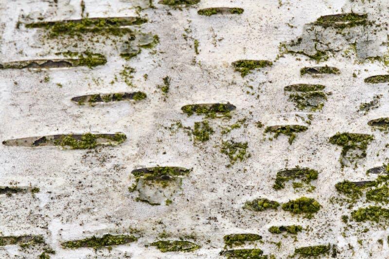 Brzozy barkentyna zdjęcia stock