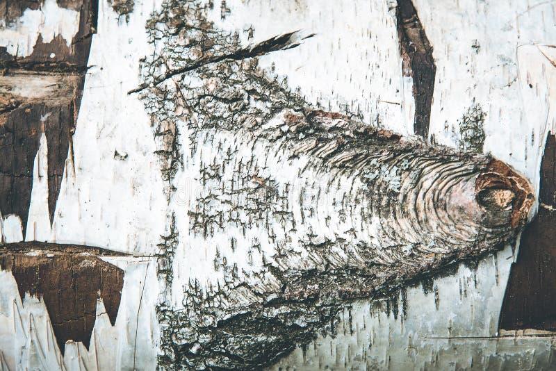 Brzozy barkentyny tekstura stary drzewo, suchy brzoza bagażnik Biała nierówna barkentyna, siekająca daleko rozgałęzia się obrazy royalty free