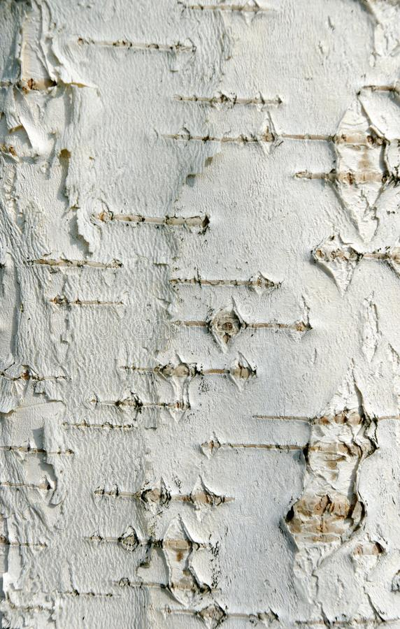 Brzozy barkentyny tekstury tło zdjęcia royalty free