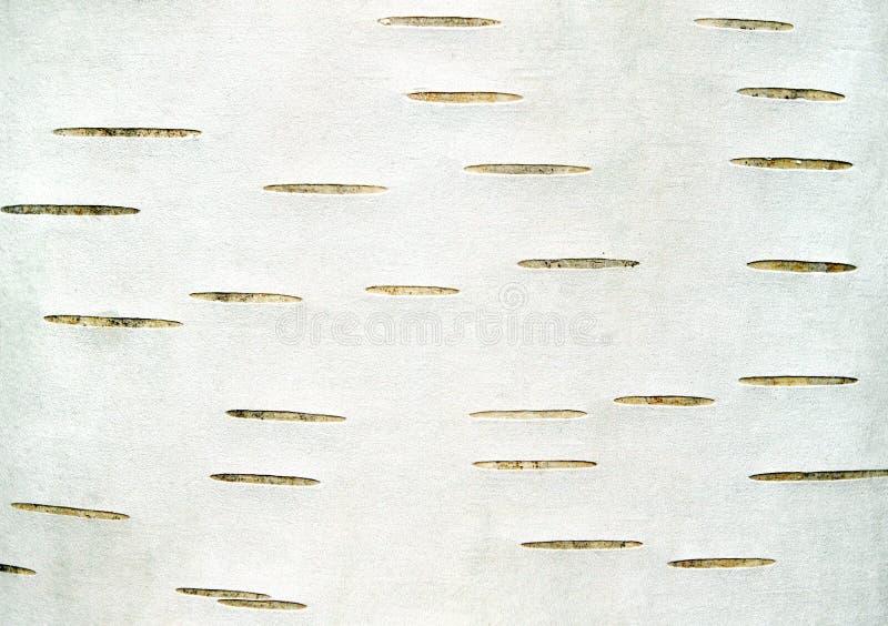 Brzozy barkentyny tekstury tło obraz stock