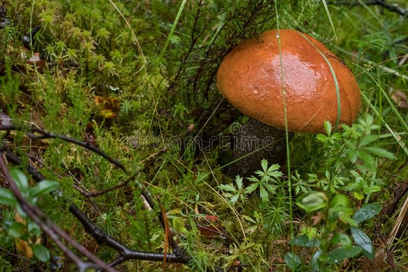 brzozy bolete pieczarki pomarańcze Pieczarka był znajdującym dorośnięciem wśród trawy w drewnach w Szkockich średniogórzach zdjęcie royalty free