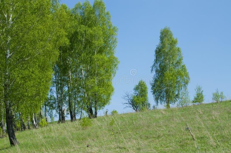 Brzozy drewno w Maju zdjęcia stock