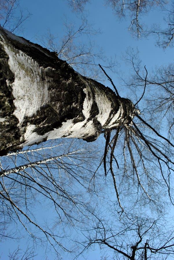 Brzozy drzewa bagażnika czarny i biały tekstura i gałąź bez liści na błękitnym wiosny nieba tle, widok od ziemi obrazy stock