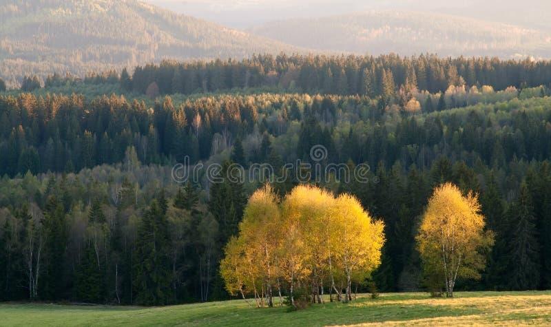 Download Brzozy drzewa grono zdjęcie stock. Obraz złożonej z równo - 28961384