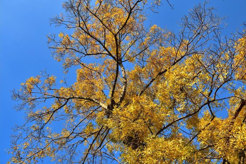Brzozy drzewa korona w złotym jesieni ulistnieniu obraz stock