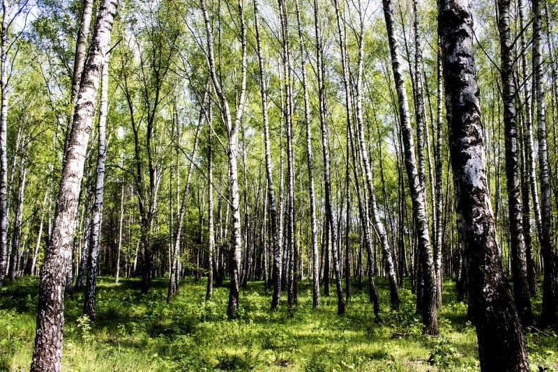 Brzozy, drzewa, las, natura, wiosna, życie, trawa, ranek zdjęcie royalty free