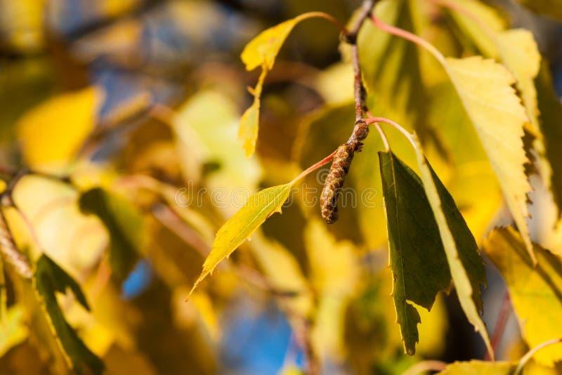 Brzozy drzewa liście w jesieni i bazia obraz stock