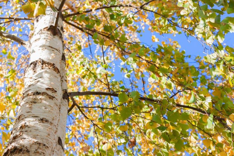 Brzozy drzewa spadek opuszcza kolor żółtego obraz stock
