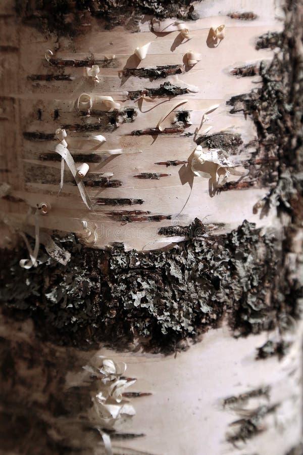Brzozy drzewa tekstura zdjęcia stock
