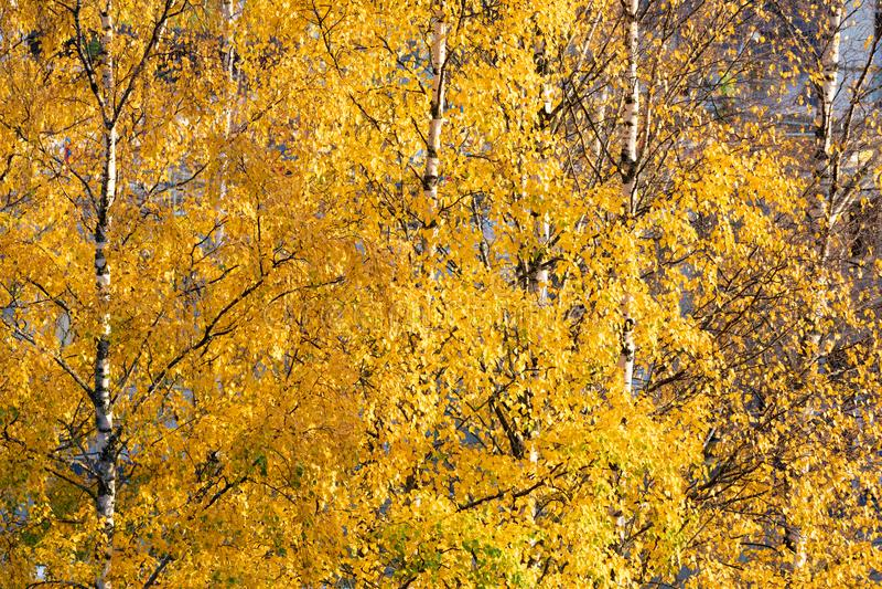 Brzozy drzewa wierzcho?ek przeciw chmurnemu niebu obraz royalty free