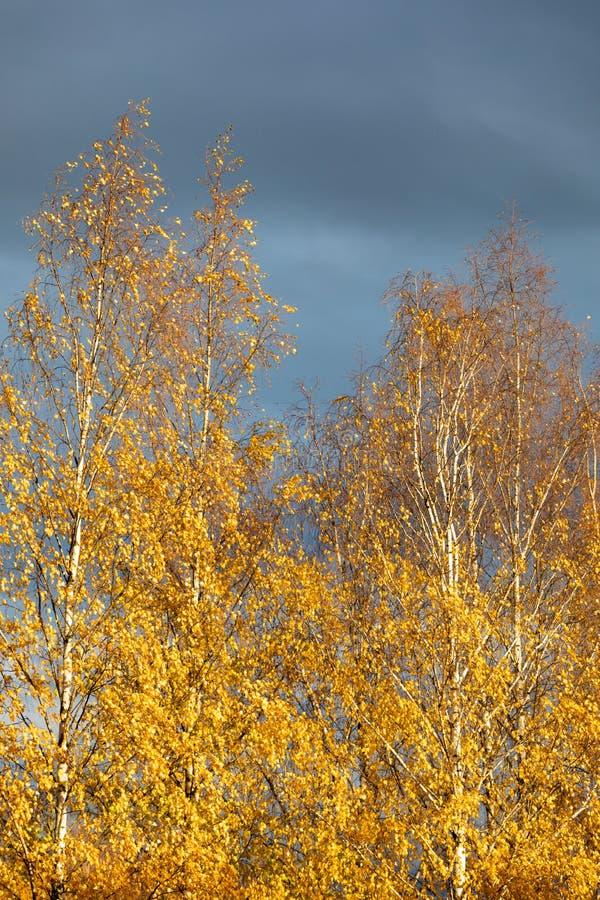 Brzozy drzewa wierzcho?ek przeciw chmurnemu niebu obrazy stock