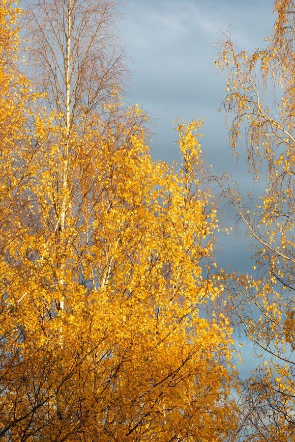 Brzozy drzewa wierzcho?ek przeciw chmurnemu niebu zdjęcie royalty free