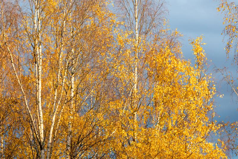 Brzozy drzewa wierzcho?ek przeciw chmurnemu niebu zdjęcia stock