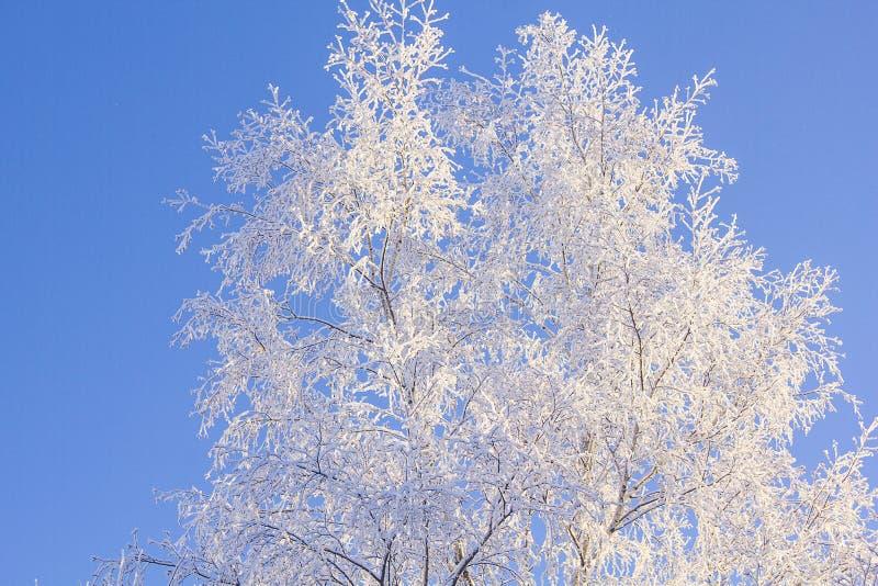 Brzozy drzewa zakrywający śnieg Zima piękny krajobraz co rano zdjęcia royalty free