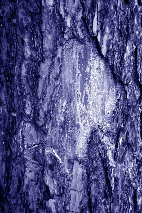 Brzozy drzewnej barkentyny tekstura w błękitnym brzmieniu zdjęcie royalty free