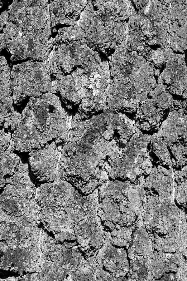Brzozy drzewnej barkentyny tekstura w czarny i biały fotografia royalty free