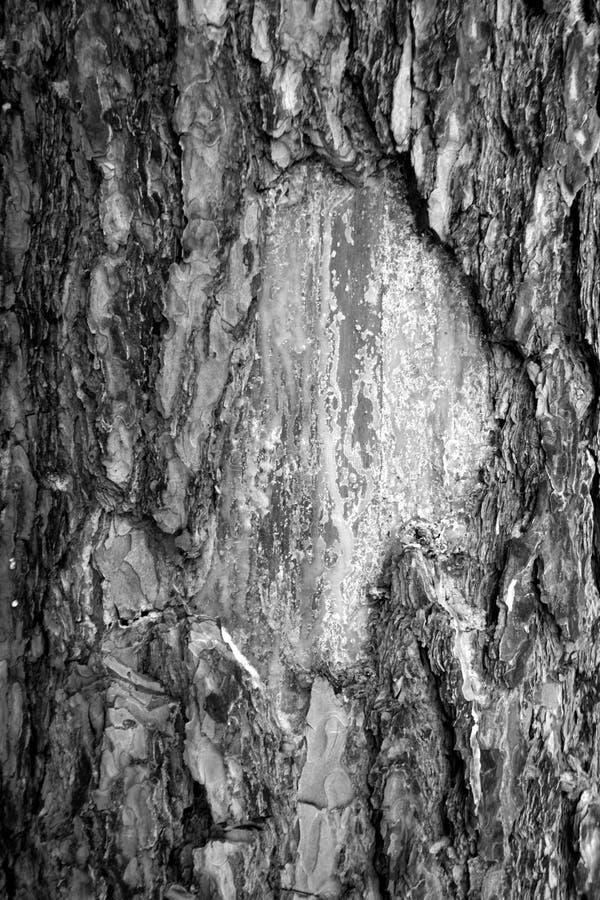 Brzozy drzewnej barkentyny tekstura w czarny i biały zdjęcia stock