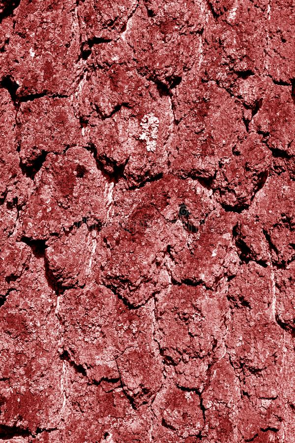 Brzozy drzewnej barkentyny tekstura w czerwonym brzmieniu obraz stock