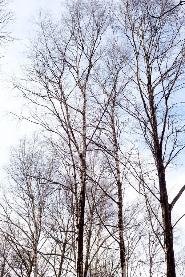 Brzozy drzewo bez liści zdjęcia stock