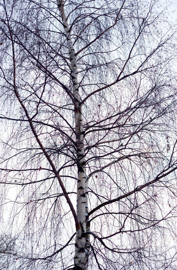 Brzozy drzewo bez liści zdjęcie royalty free