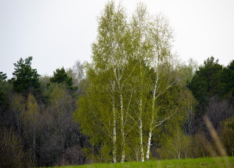 Brzozy drzewo dostaje zieleń na wiosna czasu środku Rosja obrazy royalty free