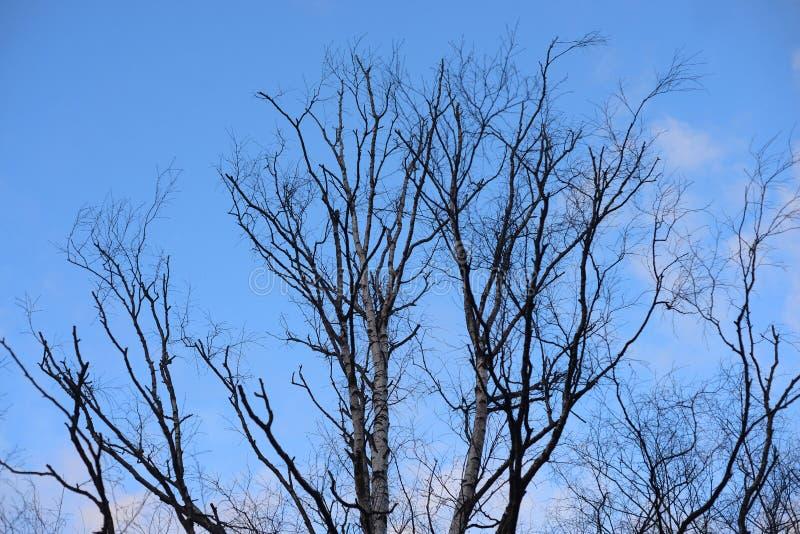 Brzozy drzewo na niebieskim niebie zdjęcie royalty free