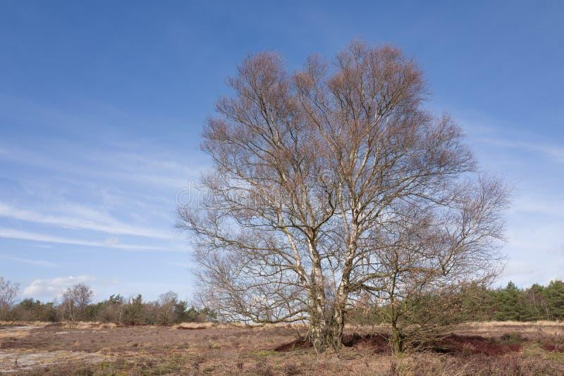 Brzozy drzewo na wrzosowisku obrazy stock
