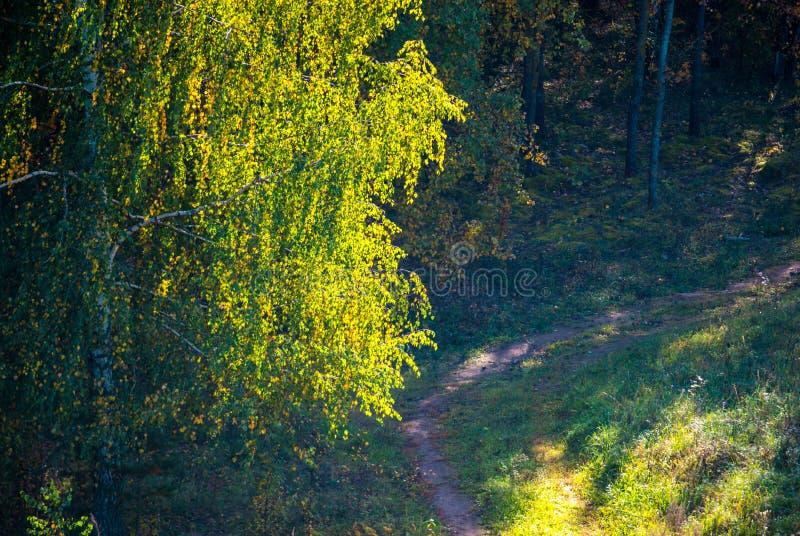 Brzozy drzewo przy światłem słonecznym i ścieżką w lesie zdjęcie royalty free