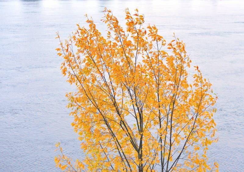 Brzozy drzewo przy jesienią fotografia stock