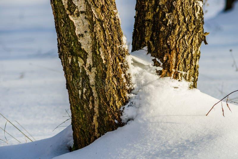 Brzozy drzewo w śniegu zdjęcie royalty free