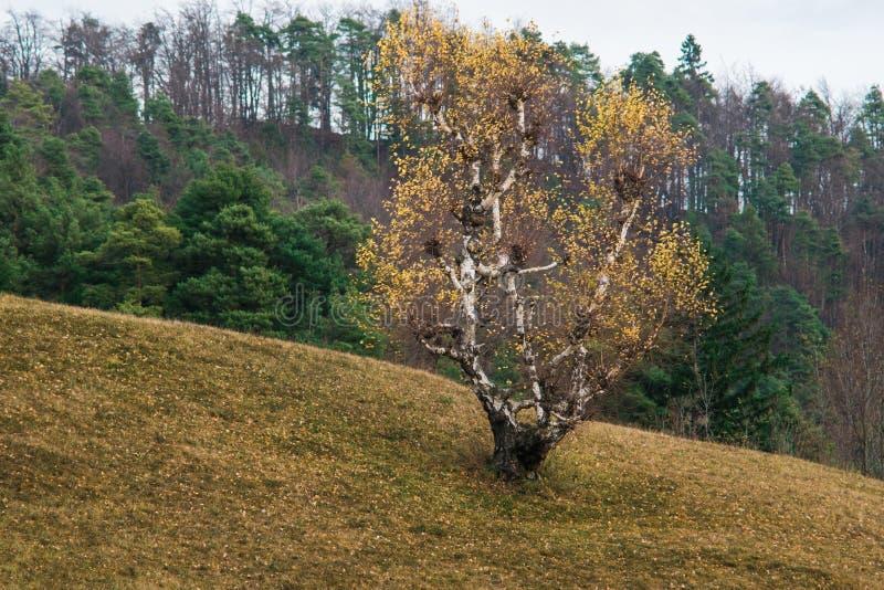 Brzozy drzewo w spadku obrazy royalty free