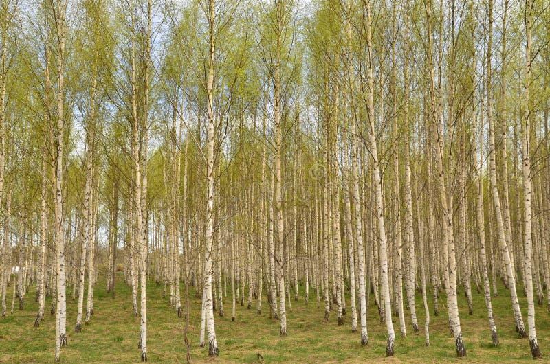 Brzozy drzewo w wiośnie fotografia stock