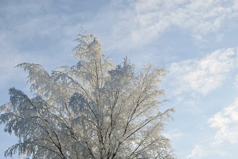 Brzozy drzewo z śnieg zakrywać gałąź fotografia stock