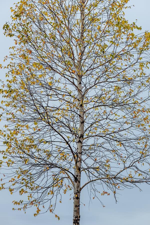 Brzozy drzewo z jesieni ulistnieniem fotografia royalty free