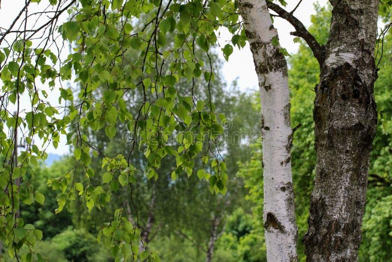 Brzozy drzewo z młodym ulistnieniem zdjęcie stock