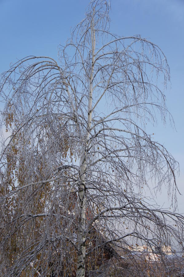 Brzozy drzewo z opaść ulistnienie konsekwencja marznięcie deszcz fotografia royalty free