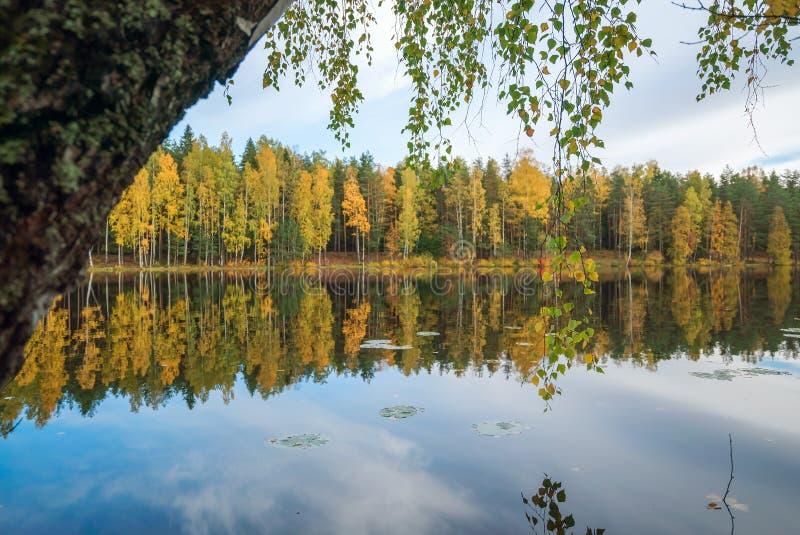 Brzozy drzewo zginający jezioro Jesień krajobraz obrazy stock