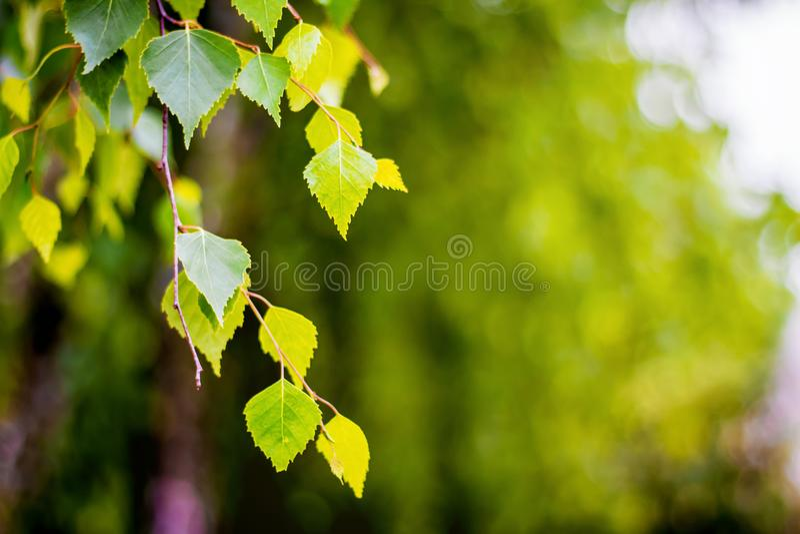 Brzozy gałąź na rozmytym tle Brzoza liście na jasny pogodnym fotografia stock
