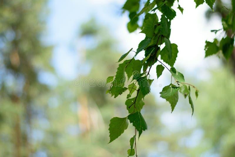 Brzozy gałąź z zieleń liśćmi i zamazanym tłem obraz royalty free
