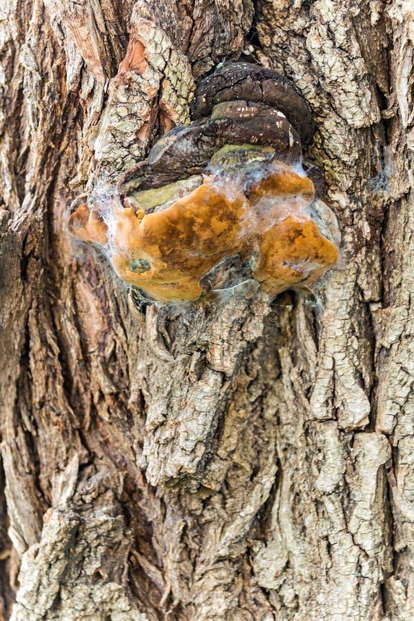 brzozy grzyba pieczarki hubki drzewo obraz stock