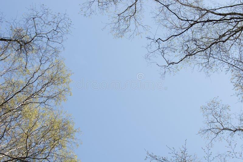 Brzozy i dębu wiosna rozgałęzia się na niebieskim niebie zdjęcia stock