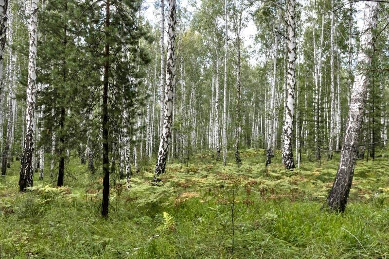 Brzozy i sosny las w lecie w Pogodnej pogodzie fotografia royalty free