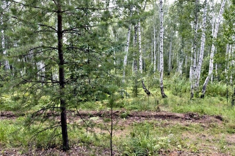 Brzozy i sosny las w lecie w Pogodnej pogodzie zdjęcia stock