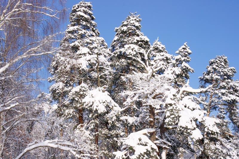 Brzozy i sosny w lesie po opadu śniegu w zimie zdjęcie stock
