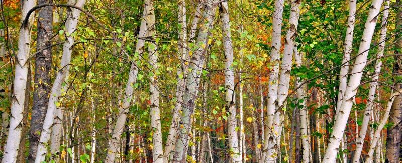 brzozy lasowe w wiosna czasie fotografia royalty free
