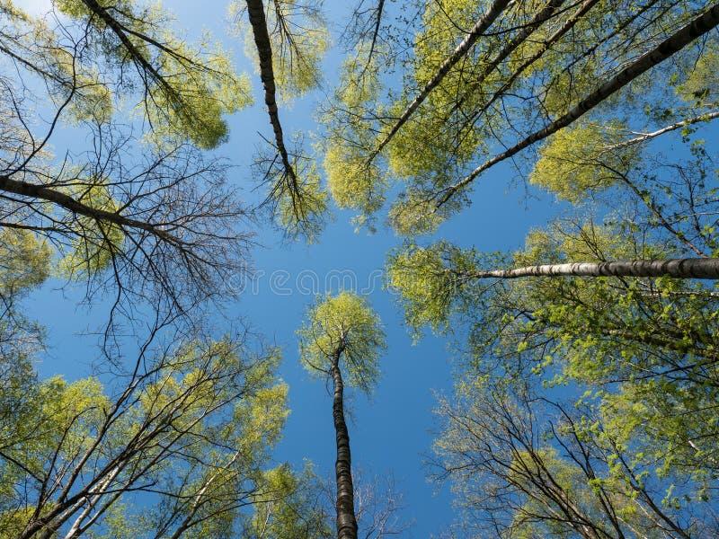 Brzozy niebieskie niebo i treetops zdjęcia royalty free