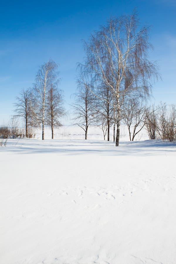 Brzozy przeciw niebieskiemu niebu w zima zdjęcia stock