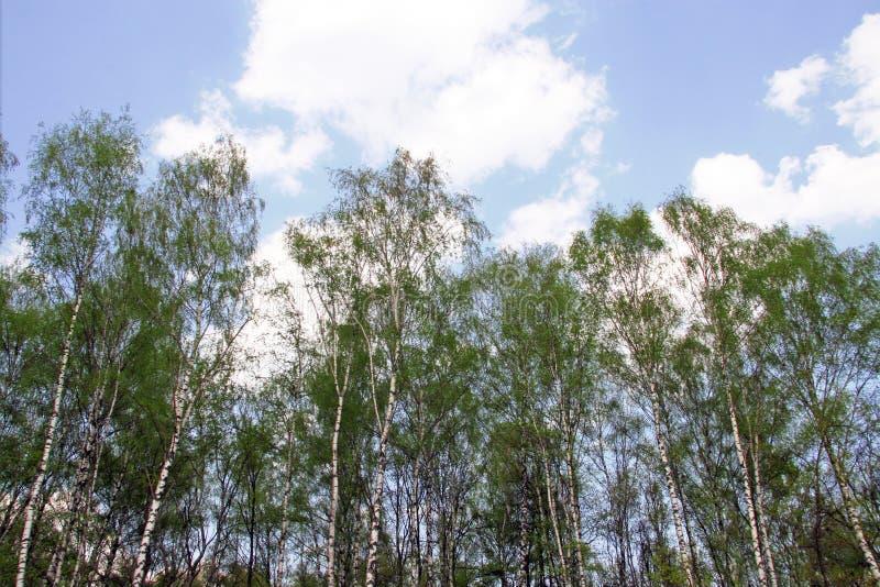Brzozy ` s las zdjęcie stock